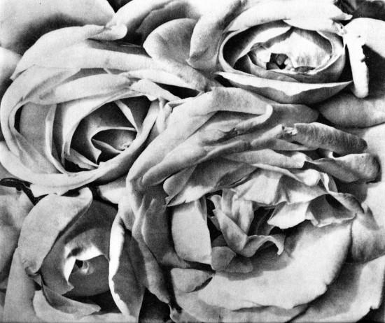 Modotti rose 1924