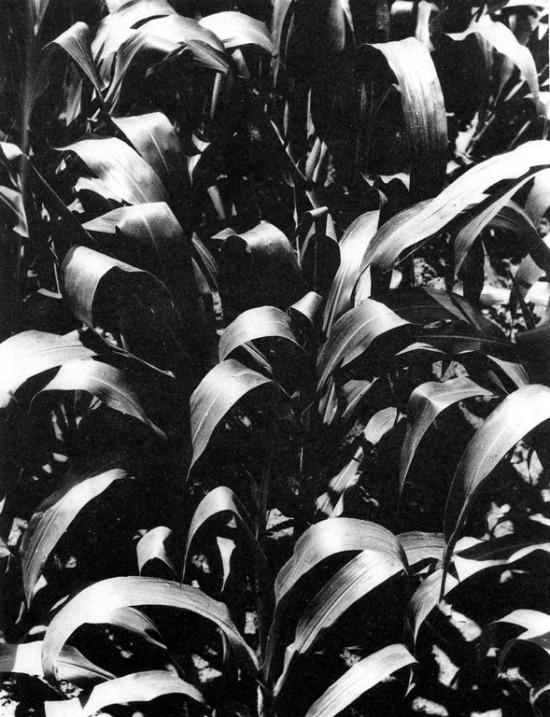 piante di mais Messico 1926 ca.